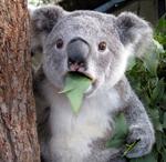 факт о детенышах коалы