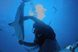 Человек управляет акулой: видео