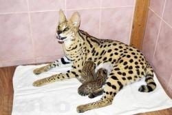 интересные факты о кошках 6