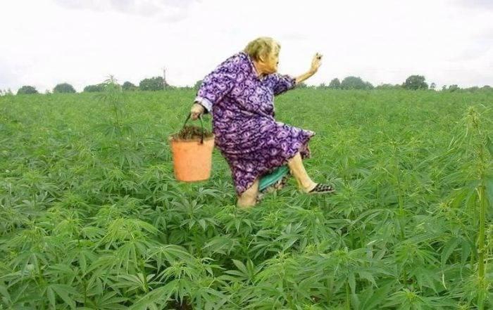 интересные факты о марихуане фото