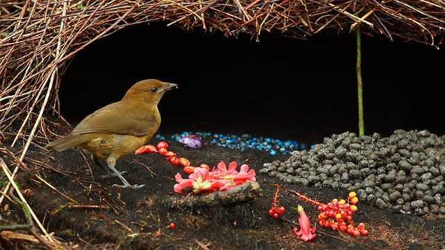 факты о птицах - гнездо шалашника