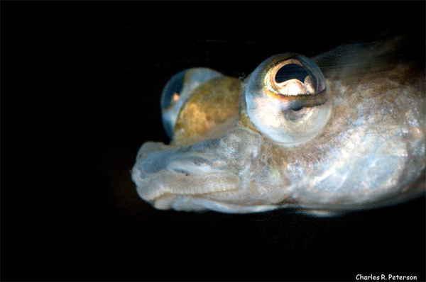 интересные факты о рыбах - четырехглазка