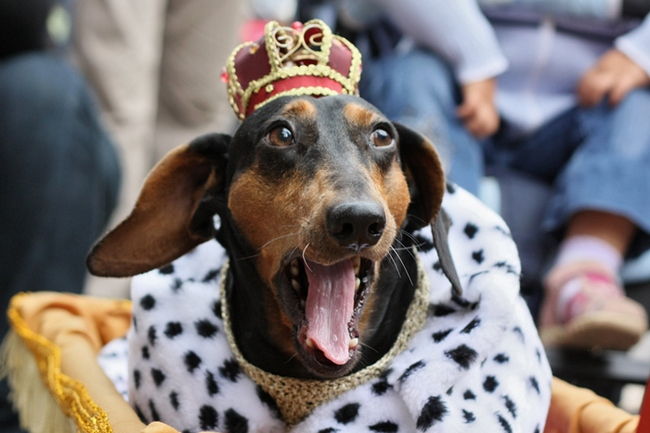собака король