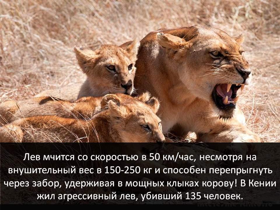 Самое смертоносное животное - лев