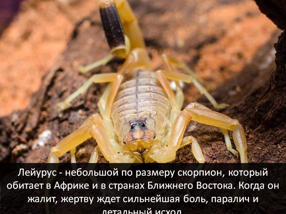 Самое смертоносное животное - скорпионы