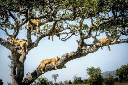 Как львы прячутся на деревьях