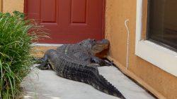 Трехметровый крокодил пытался войти в жилой дом