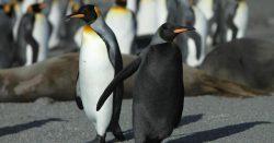Обнаружен полностью черный пингвин: редчайшие кадры