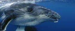 Исландия продолжает истреблять китов