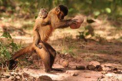Шимпанзе учатся колоть орехи быстрей людей