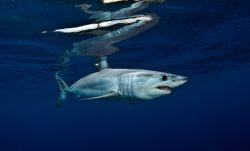 Акулам угрожает вымирание