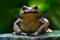 Ядовитые жабы атакуют США