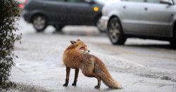 Диких лис на улицах Москвы больше, чем собак