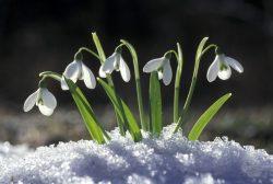 Подснежники — символы весны или растения, находящиеся под угрозой?
